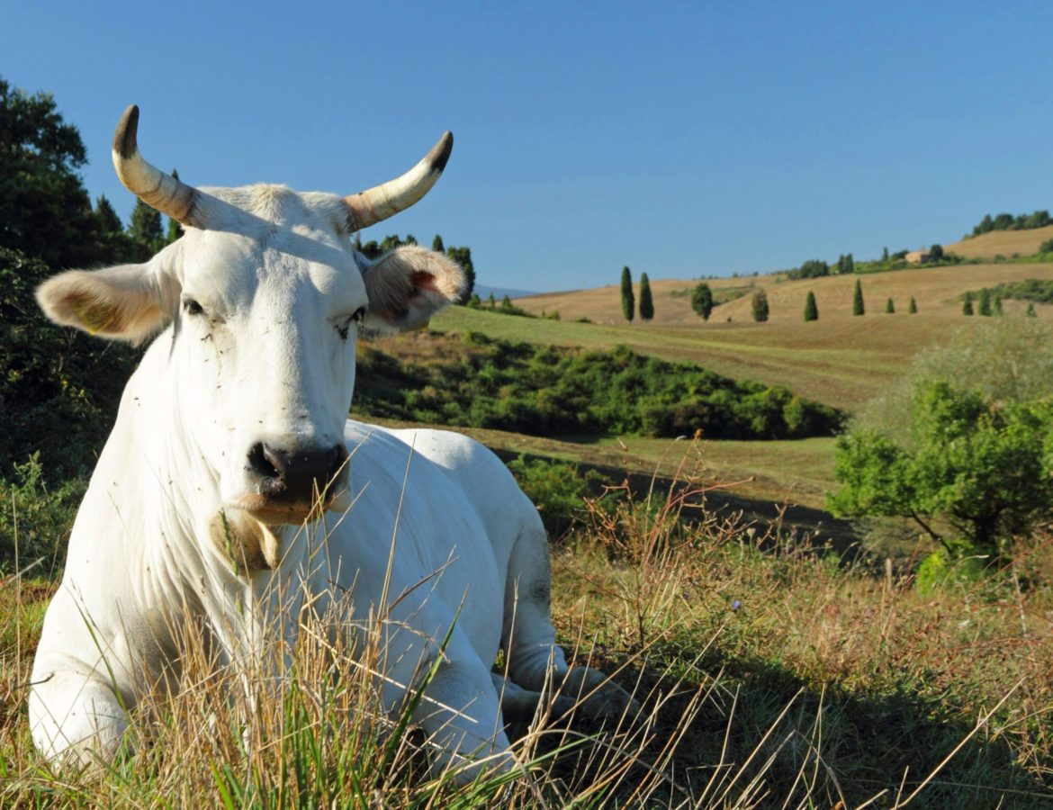 9 Tour chianina