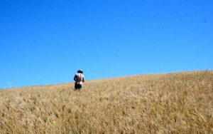 campo grano biologico 1