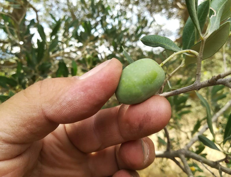 33 Partecipa alla raccolta delle olive